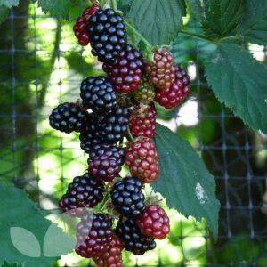 Rubus 'Loch Ness'  (Blackberry)