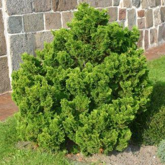 Chamaecyparis obtusa nana gracillis