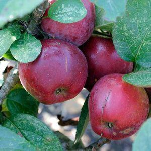 Apple 'Spartan'  (Bareroot)