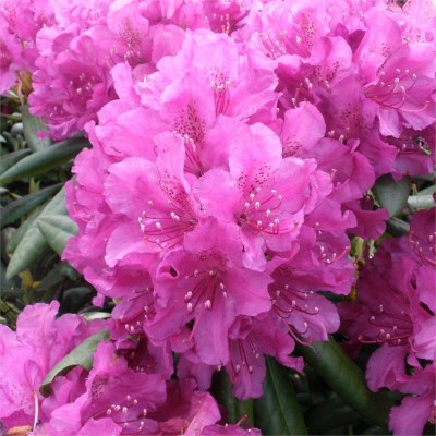 RHODODENDRON 'Lupinenberg Laguna' (Compact variety)