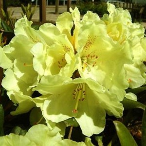 Rhododendron 'Millennium Gold' (Compact variety)