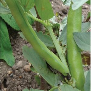 Beans - Broad Bean 'The Sutton'