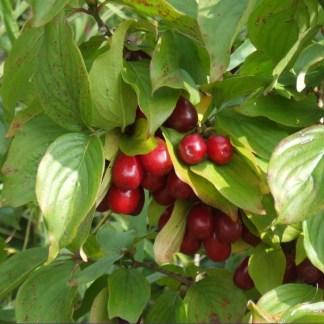 CORNUS mas (Cornelian cherry)