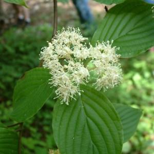 CORNUS alternifolia