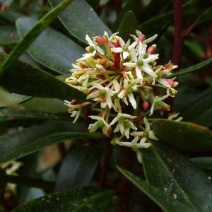 Drimys lanceolata/aromatica
