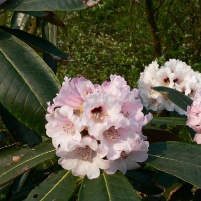 Rhododendron 'Rex'