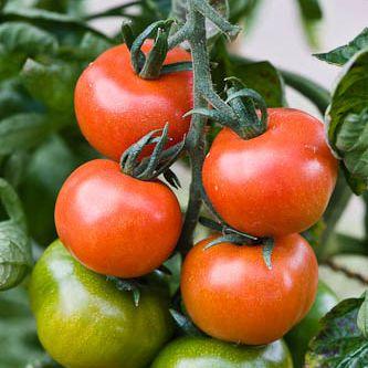Tomato Harbinger