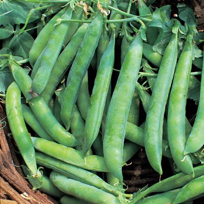 Peas - 'Kelvedon Wonder'
