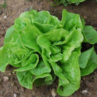 Lettuce, Tom Thumb