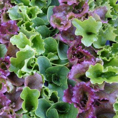 Lettuce, Mixed Lettuces