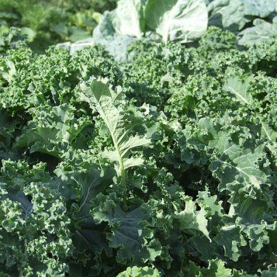 Kale Dwarf, Green Curled