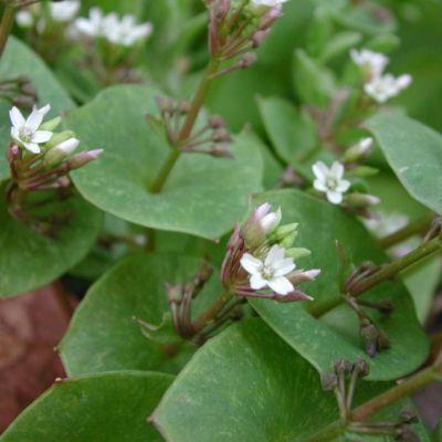 Claytonia, Winter purslane or Miners Lettuce