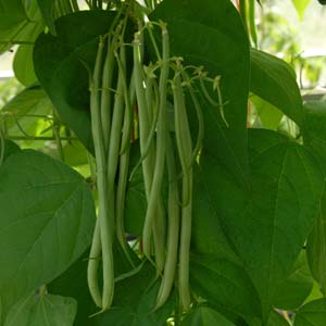 Beans - Climbing French 'Fasold'