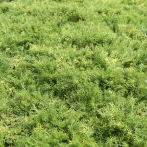Chamomile Lawn