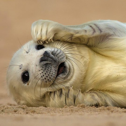 On the 4th day of Christmas the Deepdale Crew give to you ... four seal pups, three barn owls, two glamping tents and a walk on a beautiful beach ...
