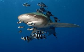 Oceanic Whitetip Shark (Image Credit: Elke Bojanowski / WWF-HK)