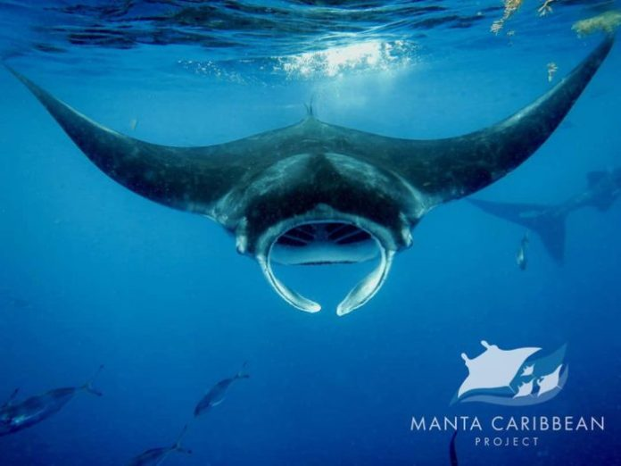 Photo courtesy of the Manta Caribbean Project