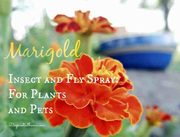 Marigold Insect and Fly Spray For Plants and Pets, effective spray, tomato hornworms, fly spray for horses, non-toxic, safe for animals, bright orange, flowers, leaves, stems, leaf-cutting insects, asparagus beetles, natural commercial version, recipe, directions, cattle, horse farms, horseflies, horsefly bite, larvae, repellent, natural chemical compounds, garden marigolds, French,