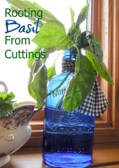 Rooting Basil From Cuttings, homemaking, DIY, Full Circle, organic herbs, grocery, herbal remedies, lemon, Baker Creek, heirloom seeds, cinnamon, anise basil, stuffed tomatoes, recipe, garden companions, infuse herbs, types of, Greek, small leaf, hardening off plants, planting, winter garden, gardening, growing indoors, mothering, cooking, kitchen garden, starts, blue bottle, milk of magnesia medicine bottle, DSCN2215