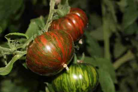 Tomatoes With Funny Names & Their Fascinating Stories, Siberian, purple, striped, unusual tomatoes, Black From Tula, Pink Oxheart, Pink Ponderosa, San Marzano, Malakatovoya Shkatulka, open-pollinated, heirloom, Chocolate Striped, Brandywine, Cherokee Purple, Sweet 100, tomato teepees, wall-o-water, season extenders, cloches, wind protectors, smaller garden, seed starting, seed saving, paste tomato, beefsteak tomato, Russian, Malachite box, heirloom tomatoes, unusual varieties, yellows, purples, green, pink, red, black, odd names, weird names, greenhouse, heaters, best tasting, tomato flavor, photos, taste test winner, plant, garden