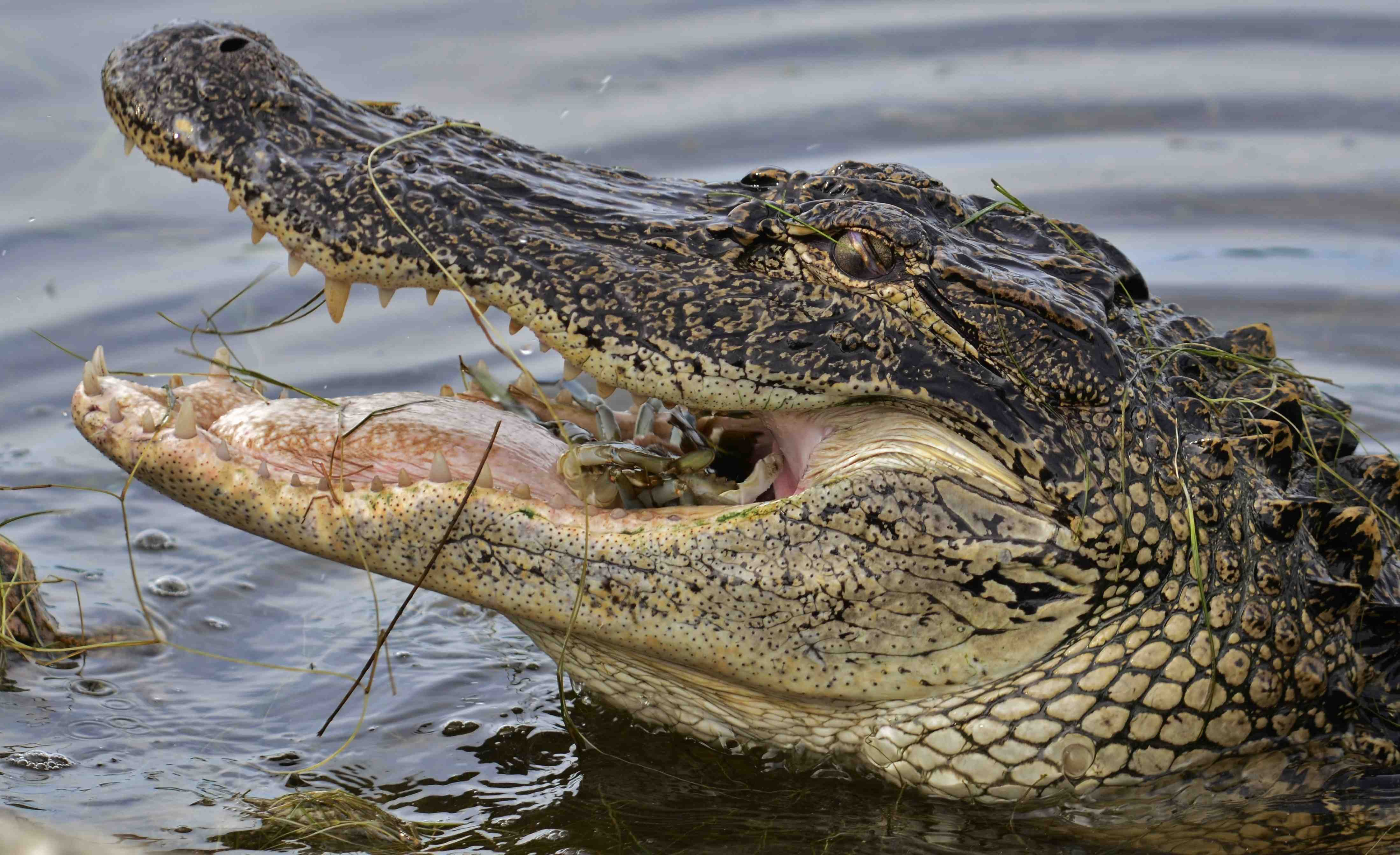 The Answer Revealed Could A Giant Alligator Eat A Whole