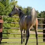 Arabian Horses Sold By Deer Haven Arabians Show Horses Sold