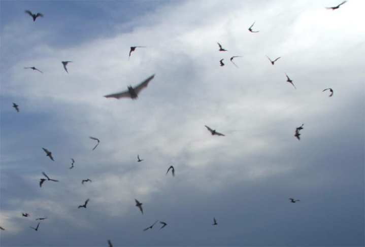 Free tailed bats were used for the bat bomb project
