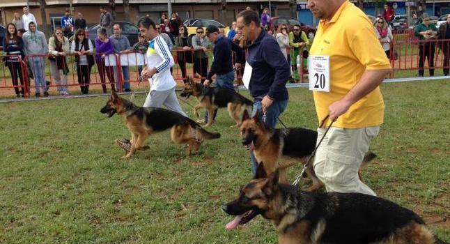 Manacor acollirà la major concentració de cans de raça pastor alemany