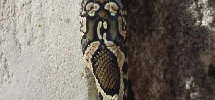 Denuncien la proliferació de serps en el municipi d'Artà