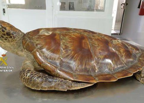 Dos veïnats de Sant Joan investigats per tenir una tortuga disecada sense papers