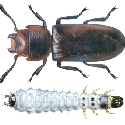 <strong>Cadelle</strong><br><br> <strong>Appearance:</strong> The slim, flat, 6-11 mm long beetle is brown to black, ventral side, antennae and legs are red-brown. A particular feature is the waisting between wing covers and neck shield, whose front outer corners extend towards the head. The dirty-white larva, 15-18 mm long, has a black head, behind this a black shield, two black hooks at the end of the body and long body hairs. The yellowish-white pupa is 7-10 mm long.  <br><br> <strong>Life History:</strong> The female deposits some 500-1,000 eggs in clusters in the grain or grain products over the course of several months. The entire development period is about 1 year in temperate zones, and up to 3 generations per year in the tropics. In mills, the larvae are mainly found in clumps of Mediterranean flour moth webs, but also in cracks in timber. Before pupation, the larvae bore into wood or make a bed of flour and other materials. The larvae hibernate before pupation. The adults are long lived, often more than a year.    <br><br> <strong>Distribution:</strong> World-wide.   <br><br> <strong>Damage:</strong> Is a serious pest in the tropics. The cadelle is found in mills, silos and warehouses, on grain, mill products, feeds, groundnut seeds, etc. Irregular borings are found in kernels; germs are preferred. The cadelle gnaws through the bolting cloths in mills, and through its tunneling may weaken timber sections in mill equipment and storage bins.