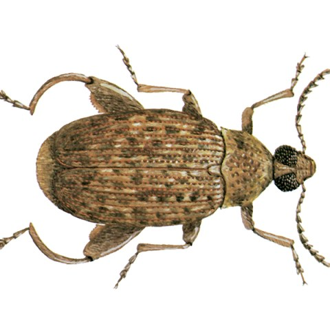 <strong>Ground Nut Borer</strong> <br><br> <strong>Appearance:</strong> These dark reddish-brown pests have smudgy black spots on the wing covers and is 3-7 mm long.   <br><br> <strong>Life History:</strong> It is found in the tropics on whole and shelled groundnuts, both in the field and in store. Pupation occurs outside the seed and also outside the shell, in a thin cocoon.     <br><br> <strong>Distribution:</strong> All tropical countries.  <br><br>  <strong>Damage: </strong>To groundnuts, pods of tamarinds and other types of acacia found in the tropics. Is carried into the temperate zones with groundnuts, but does not become established.