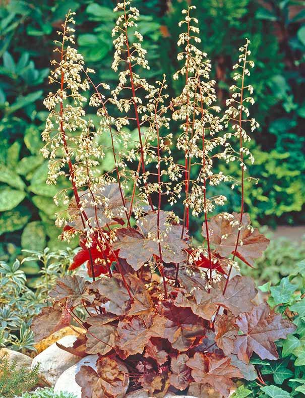 Sun Full Perennial Border Plants Small