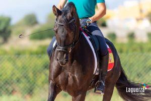 majestic horses caballos pura raza español