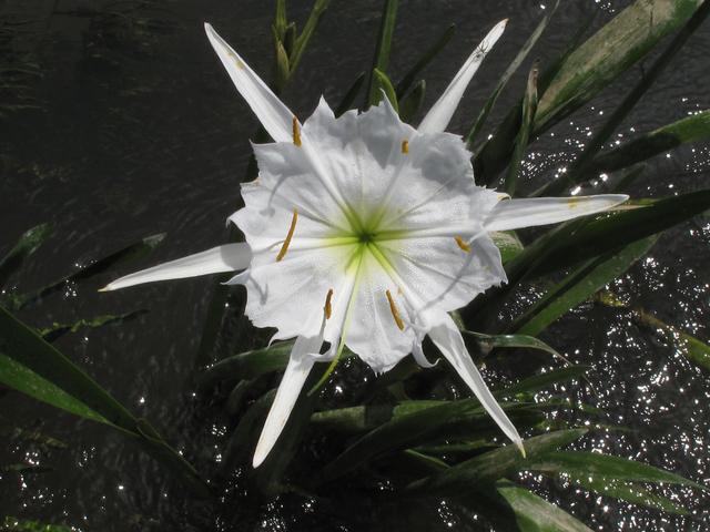 Spider lily ou lírio-aranha é uma flor típica do deserto da região de Dubai
