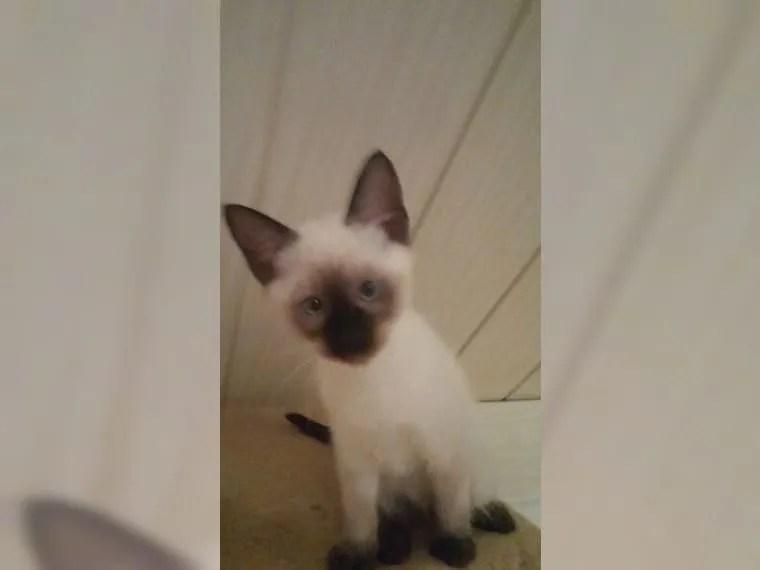 Geimpfter Devon Rex Siam Katzen Baby Kätzchen Kitten
