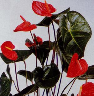 el anthurium, una de las flores más bellas