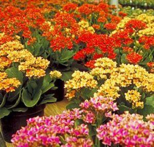 Kalanchoe: flores resistentes