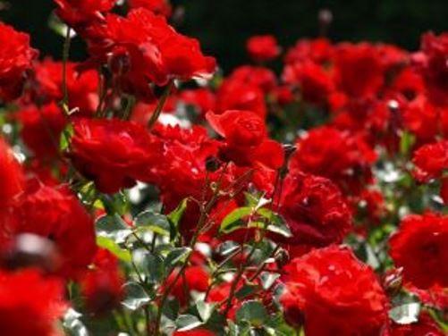 cultivo de rosas