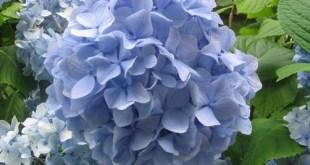 Consejos Para Cultivar Hortensias