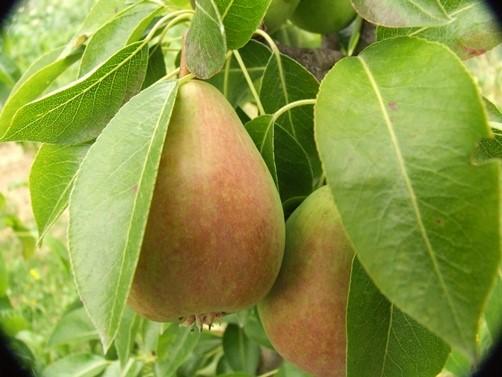 plantar peras en el jardin
