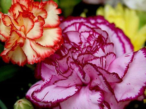 cultivar claveles