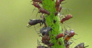 Cómo exterminar los pulgones de las plantas