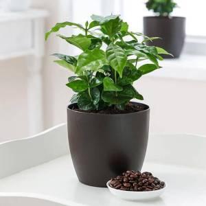 Coffea Arabica - Set van 2