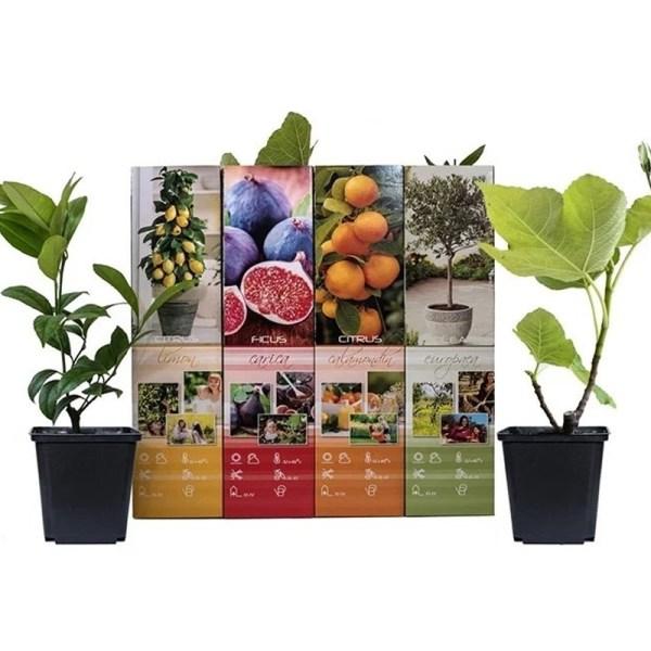 4+4 GRATIS   Mediterrane Fruitbomen