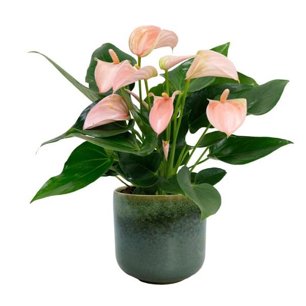 Anthurium Peach - Inclusief sierpot Kleur: Groen