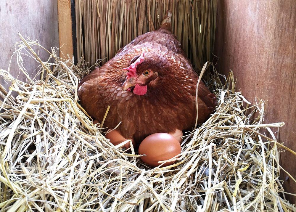 Straw in a nest box