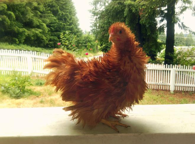 Brown frizzle chicken
