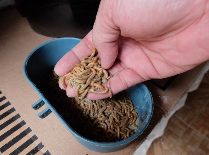Benefits of mealworms