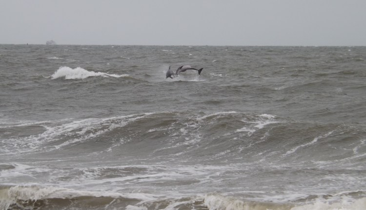 Dolphins Playing in the surf at Cape Henlopen